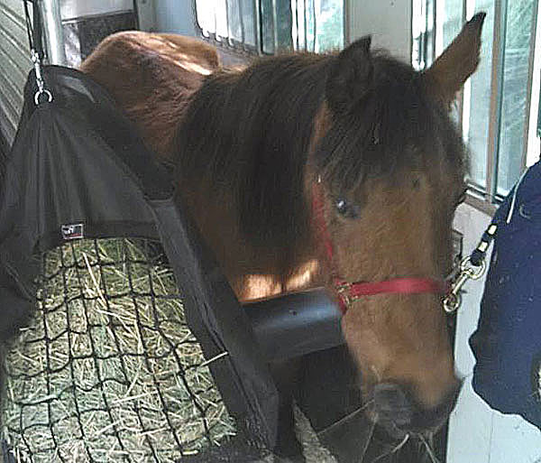 A neglected horse nibbles fresh hay while being transported to a safe new home by transporter Margo Lister.