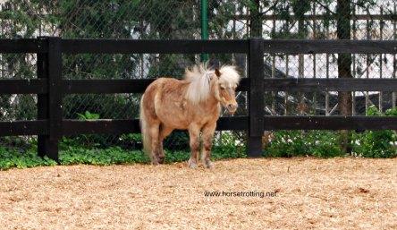 mini horse at Kentucky Derby Museum Louisville, KY