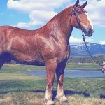 Top 10 Biggest Horse Breeds In The World 2018 Horsetv Live