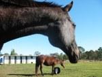 horses-thunder-lily