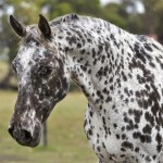 14 Common Black And White Horse Breeds Horsey Hooves