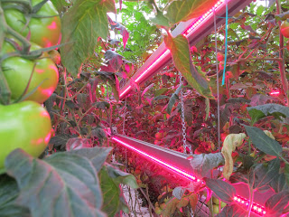 LED Interlighting Modules used in Greenhouse Tomatoes