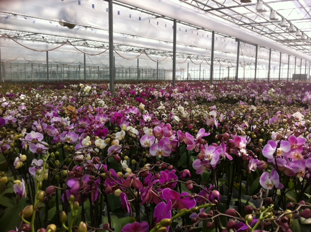 Phalaenopsis orchid production at Mid-American Growers