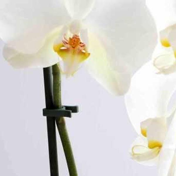 Bato orchid clip