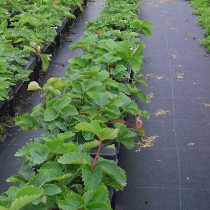 greenhouse-ground-covers
