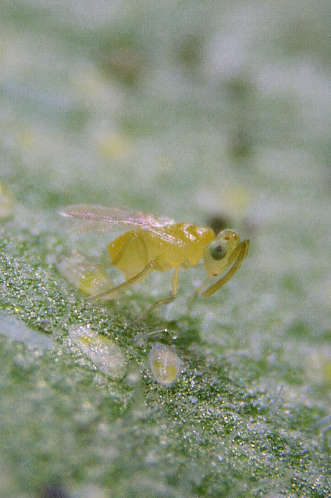 Whitefly Larvae Consider using ...