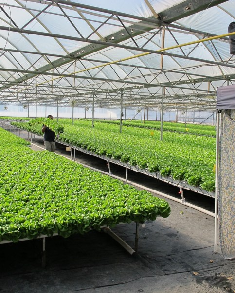 Hydroponic growers can avoid issues with soil-borne diseases, soil-hosted insects, poor soil drainage and aeration. Photo courtesy of American Hydroponics