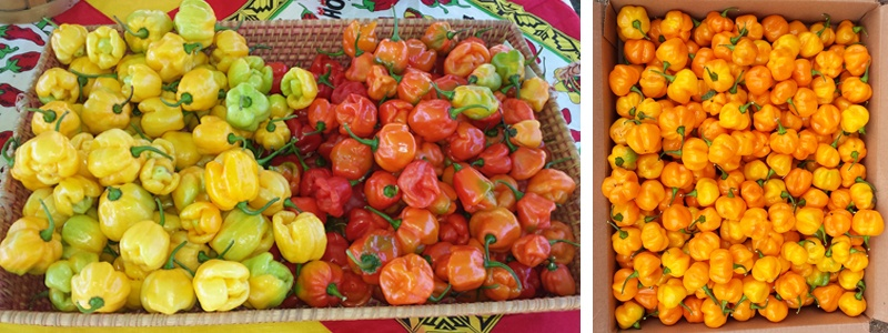 Exotic peppers have been studied by Rutgers University researchers since 2009. The fruit is in high demand by Africans, Asians and Hispanics. Photos courtesy of Albert Ayeni, Rutgers Univ.