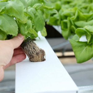 Hydroponic Substrates and Growing Media