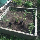 raised bed tomatoes