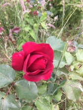 red lost label rose