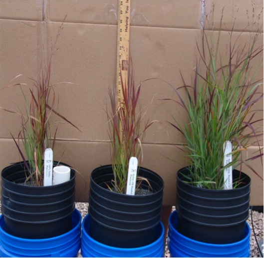 "Panicum virgatum 'Shenandoah' shoot growth in 100% slate  (left), slate amended with a 4"" band of pine bark (middle), and slate amended with a 4"" band of composted yard waste  (right)."