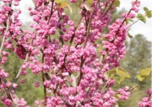 New Redbud (Cercis) Cultivar