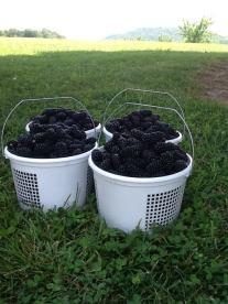 Blackberries from Fruit of the Spirit Orchard and Vineyard