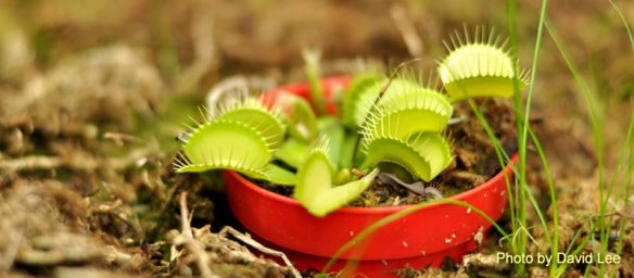Venus Flytrap at NC State Conservatory