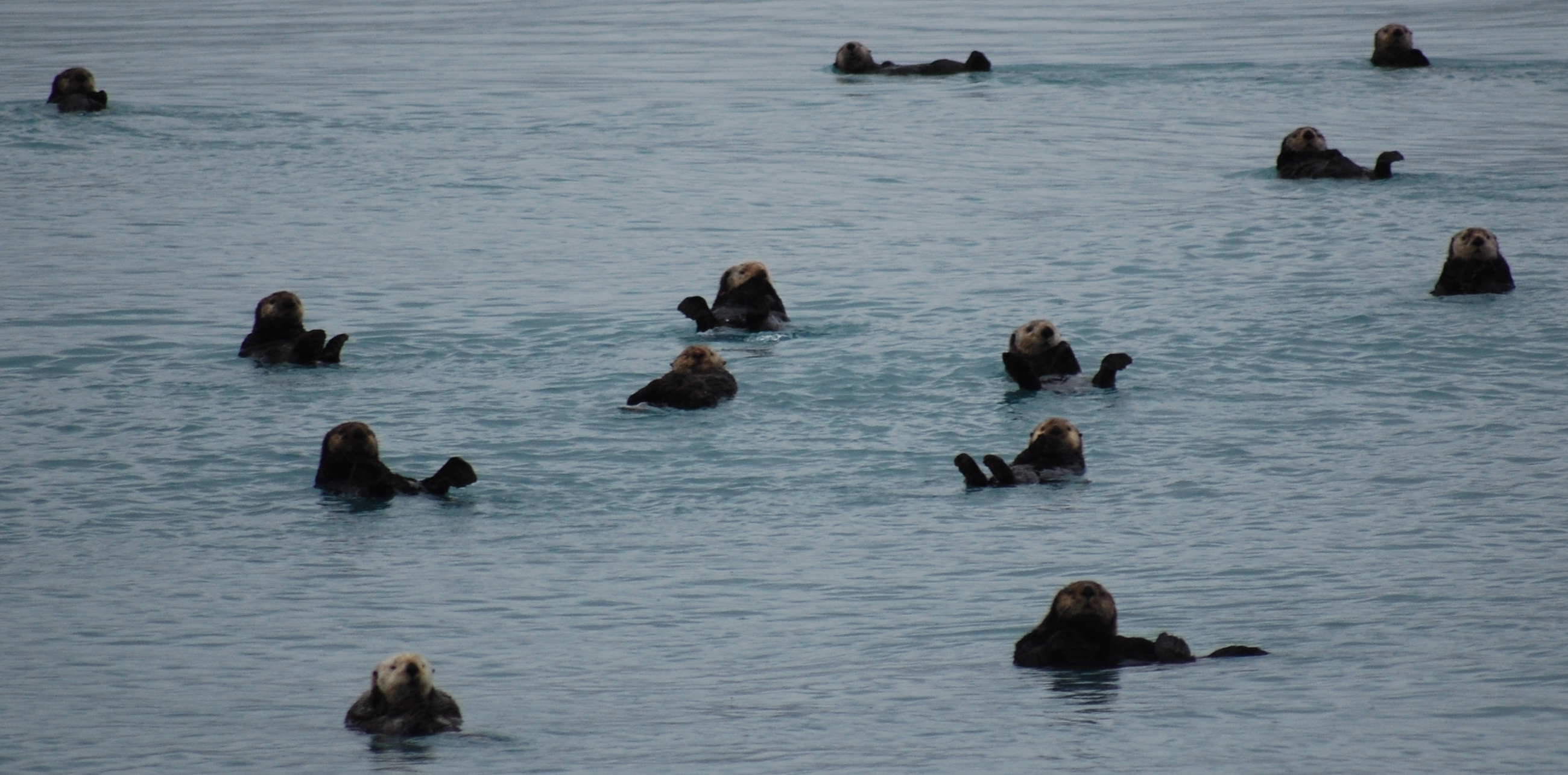 """A """"raft"""" of sea otters doing what they do best, floating on their backs!"""