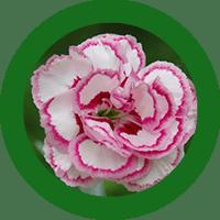 clavel_web
