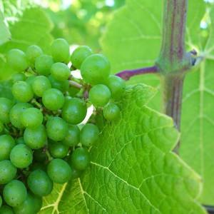 flädie vingård