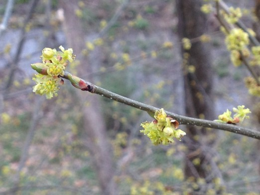 Spicebush Flowers, early blooms for early pollinators