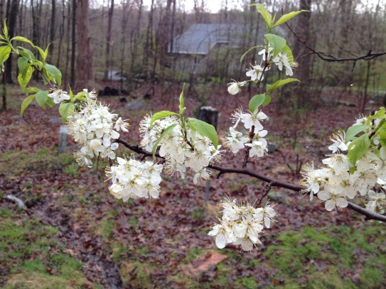 Flowers and emerging leaves of American Plum