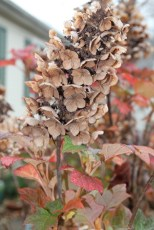 The raffia colored flowers of Oakleaf Hydrangea in Autumn