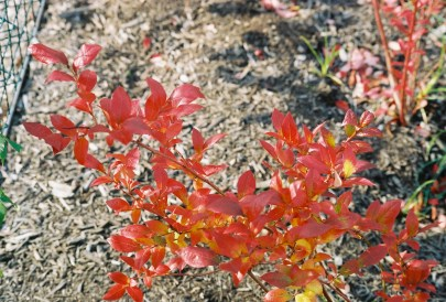 Fall color on Highbush Blueberry - Burning Bush step aside!
