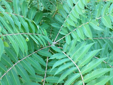 Compound Leaves of Smooth Sumac