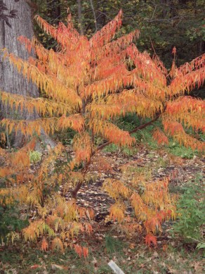 Fall Color of Cutleaf Staghorn Sumac