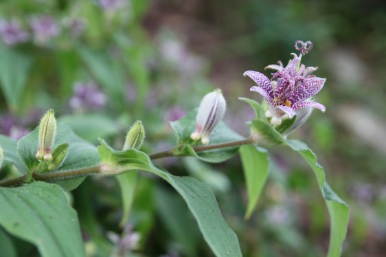 Orchid-like Toad Lily (Tricyrtis hirta) is a fall gem.