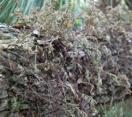Resurrection Fern in dry weather