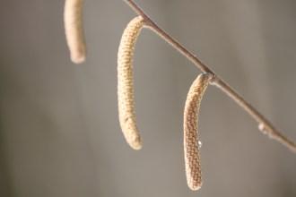 Corylus avellana - Common Hazel - Barnes Arboretum