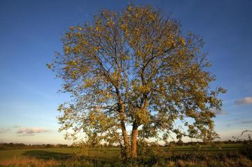 An Ash tree with dieback