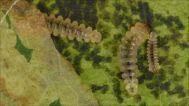A horse-chestnut moth caterpillar