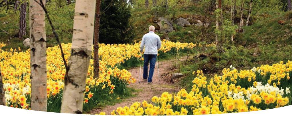 Man walking through dafodil lined path