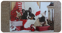 Christmas card design featuring a pug and french bulldog lounging in Christmas decor
