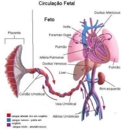 circulacao-fetal