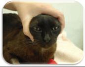 Como dar comprimidos/pastillas a tu gato 3