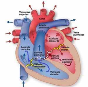 Esquema del corazón