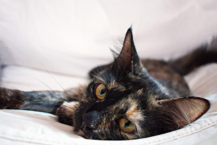 Los gatos de interior tienen menos probabilidad de infectarse