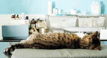 Anestesia en veterinaria: Gato anestesiado