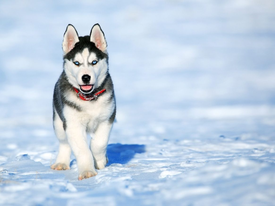 Siberian husky with blue eyes walking in snow