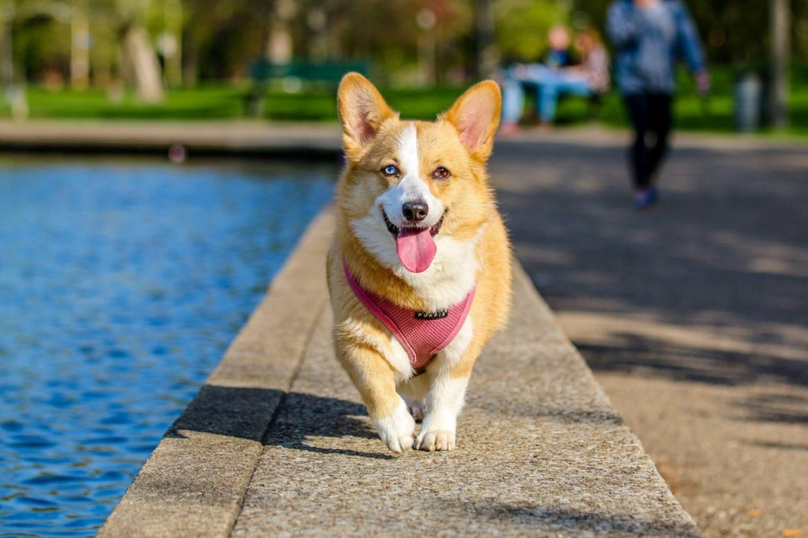 Corgi with pink harness and one blue eye and one brown eye
