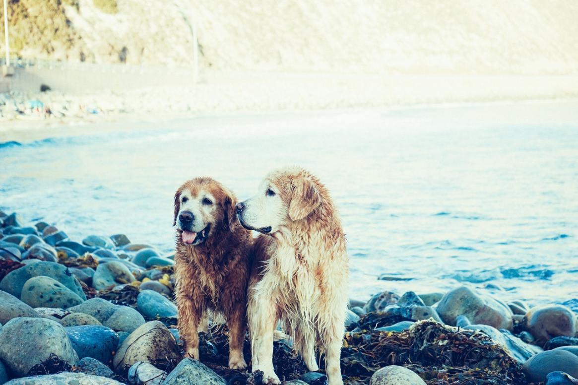 two older wet golden retrievers standing on rocks by the ocean