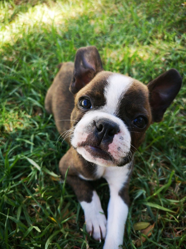 brown and white puppy laying in grass