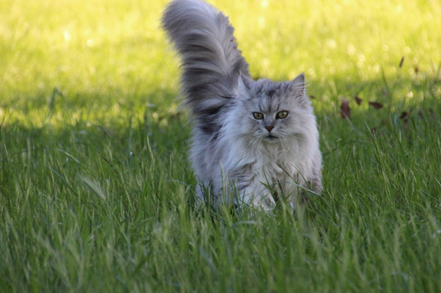 long haired grey cat in green grass looking for a treat