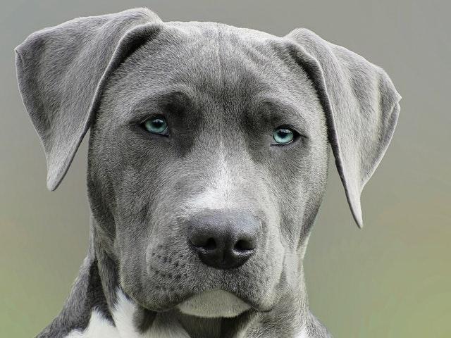 grey pitbull head shot