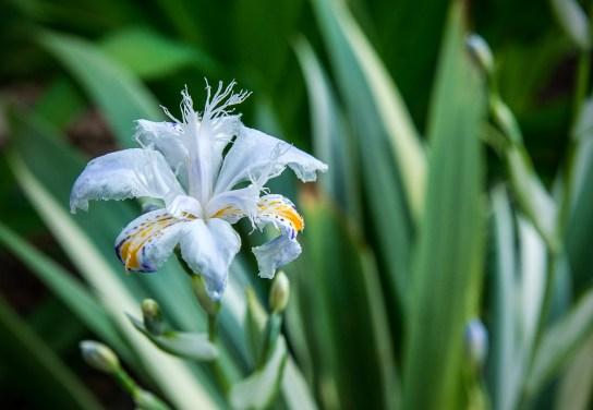 Iris Cruella