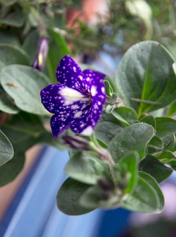 petunia 'nightsky'