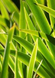 iris germanica leaves