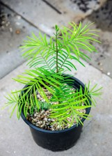 My sequoiadendron cutting from last year. It is so cute. :D
